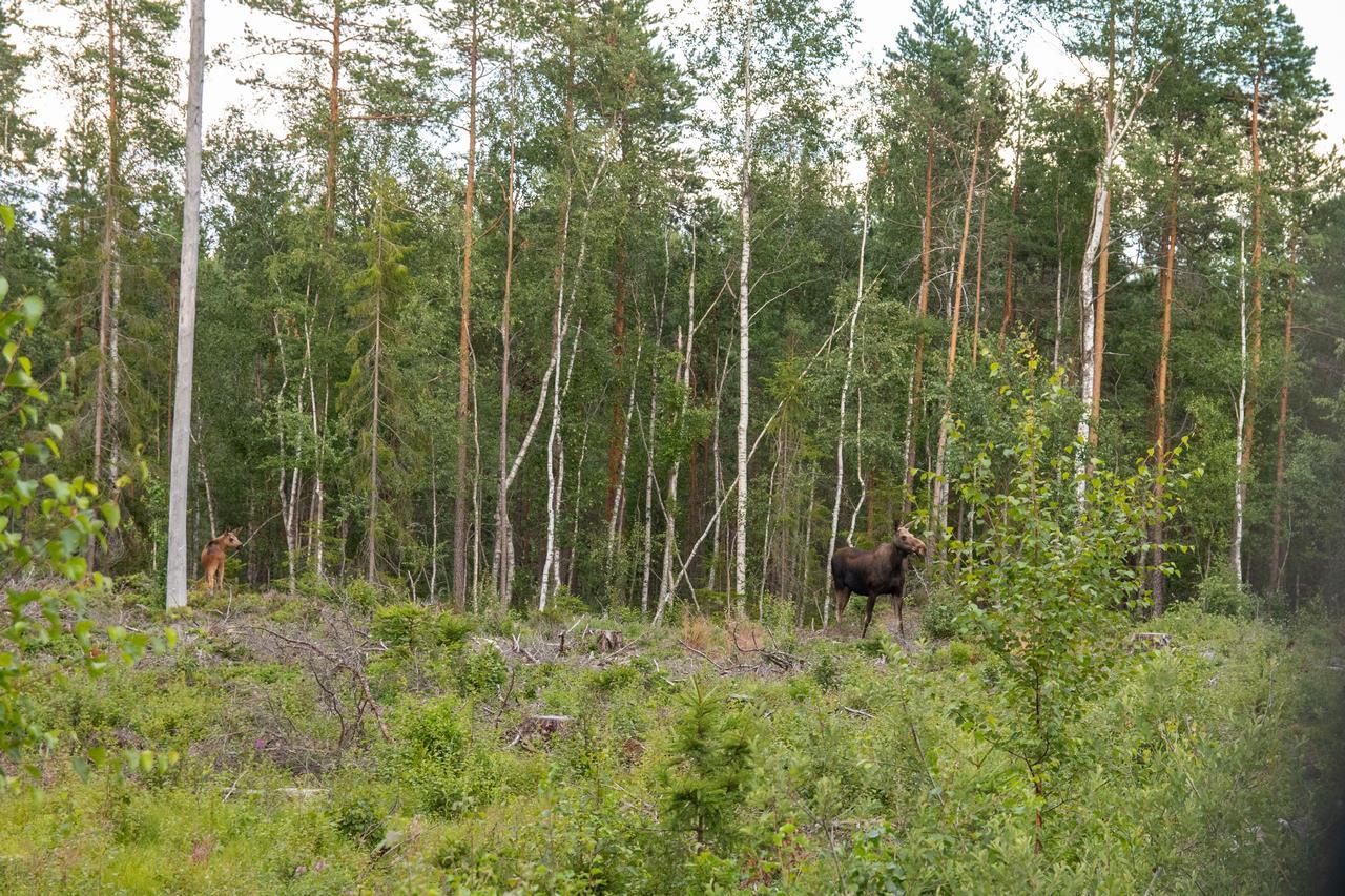 We werden door de kanoverhuurder van het busstation afgehaald, onderweg zagen we deze elanden (Bas Wetter)