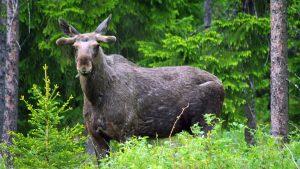 Jämtland is een van de dunst bevolkte gebieden in Zweden en dus maken wij meer kans op het zien van een eland of rendier (LitsCamping.com)