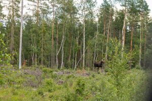 Met een beetje geluk spotten we een eland of bever, knaagsporen zullen we zeker zien (Bas-Wetter)